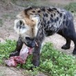 Hyena Eating — Stock Photo