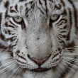 White Tiger Face — Stock Photo