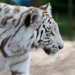 White Tiger Profile — Stock Photo #34837153