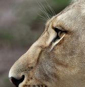 Lioness Eyes and Nose — Stockfoto