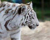 White Tiger Profile — Foto Stock
