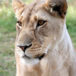 Lioness Portrait — Stock Photo