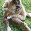 Stock Photo: Gibbon Ape and Baby
