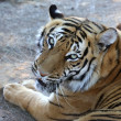 Tiger Portrait — Stock Photo #35542475