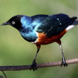 Stock Photo: Superb Starling Bird