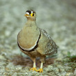 Double-banded Sandgrouse — Stock Photo #35787731