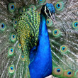 Peacock Display — Stock Photo