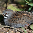 Stock Photo: Chinese Painted Quail