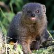 Grey Mongoose — Stock Photo #36129779