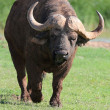 Angry Buffalo — Stock Photo #36129871