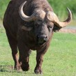 Stock Photo: Angry Buffalo
