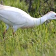 Cattle Egret Bird — Stock Photo