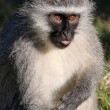 Stock Photo: Vervet Monkey Concentrating