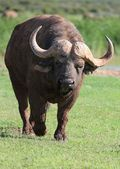 Angry Buffalo — Foto Stock