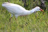 Cattle Egret Bird — Stock fotografie