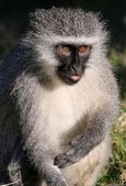 Vervet Monkey Concentrating — Stock Photo