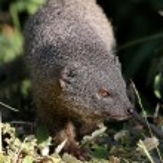 Grey Mongoose — Stock Photo #36225457