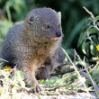 Grey Mongoose — Stock Photo