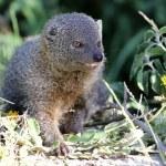 Grey Mongoose — Stock Photo #36366939