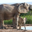 African Elephant Calf and Mother — Stock Photo