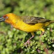 Yellow Cape Weaver Bird — Stock Photo