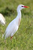 Cattle Egret Bird — Stockfoto