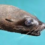 Cape Fur Seal Portrait — Stock Photo