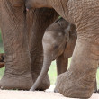 African Elephant Baby and Mom — Stock Photo #37777371
