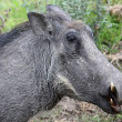 Stock Photo: Warthog Head