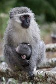 Baby Vervet Monkey and Mother — Stock Photo