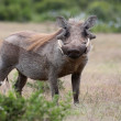 Warthog Animal — Stock Photo