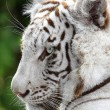 White Tiger Profile — Stock Photo #38063283