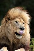 Male Lion Licking Lips — Stock Photo