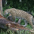 Постер, плакат: Jaguar Wild Cat