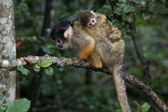 Squirrel Monkey and Baby — Stock Photo