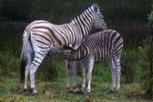 Young zebra suckling — Foto de Stock