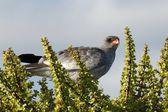 Goshawk bird of prey — Stock Photo