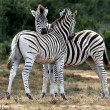 Stock Photo: Zebras Grooming