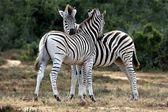 Zebras Grooming — Stock Photo