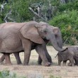Baby African Elephants and Moms — Stock Photo #39503293