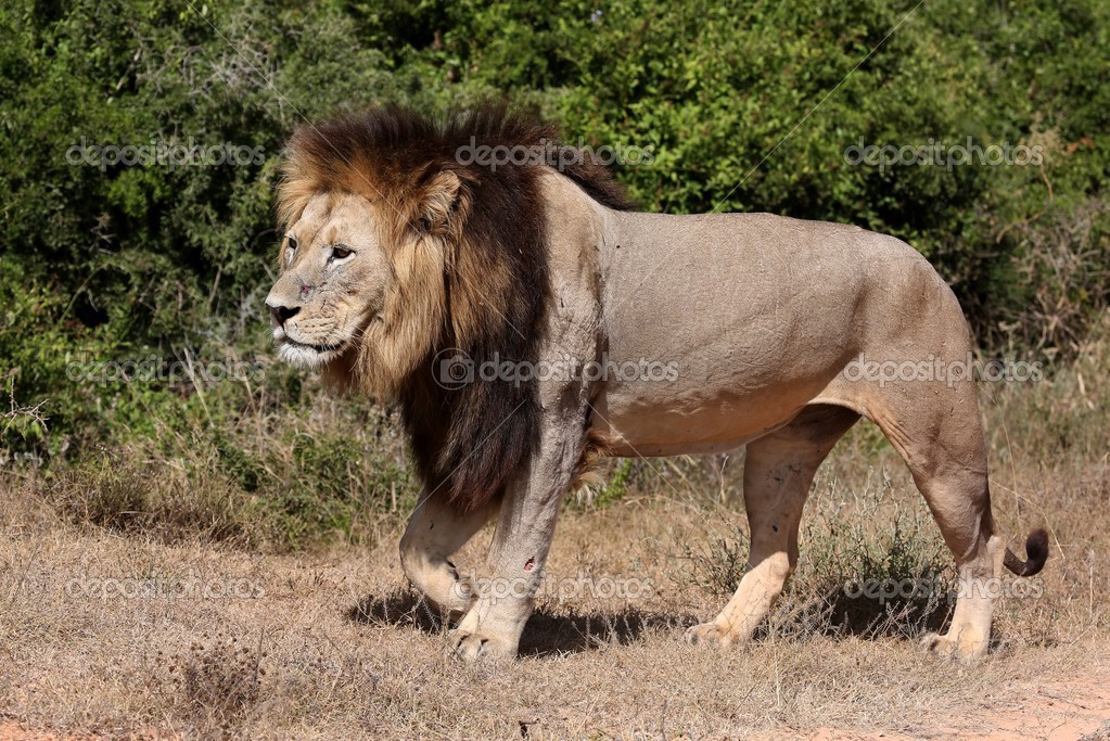 Самца льва ходьба — Стоковое фото © fouroaks #39503333: http://ru.depositphotos.com/39503333/stock-photo-male-lion-walking.html