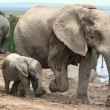 Baby African Elephant and Mom — Stock Photo #40405763