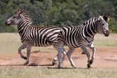 Zebra Males — Stock Photo