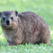 Cute Rock Hyrax Animal — Stock Photo