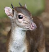 Blue Duiker Antelope — Stock Photo