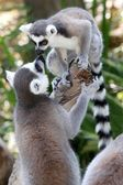 Lemur Primates Greeting — Stock Photo
