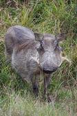 Female Warthog — Stock Photo