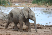 Baby African Elephant at Water Hole — Stok fotoğraf
