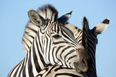 Zebra Friends — Stock Photo