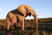Obrovský slon africký muž — Stock fotografie